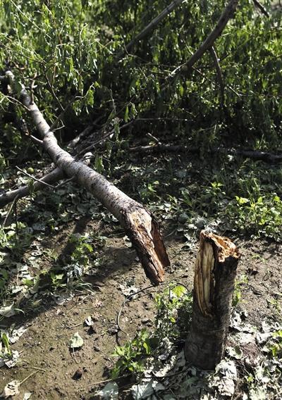 一村庄450亩桃树绝收 组图