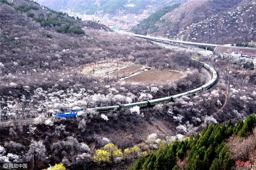 北京:开往春天的列车穿越花海(组图)