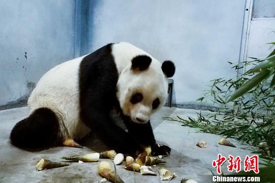 """西安秦岭动物园大熊猫瘦成""""皮包骨""""园方:正恢复"""