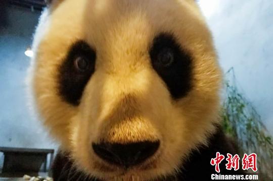 图为大熊猫健康及营养状况正在恢复。西安秦岭野生动物园供图