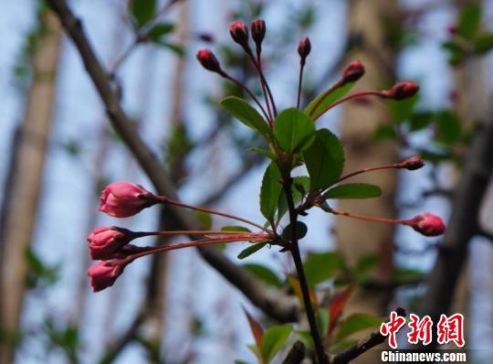 垂丝海棠枝条上挂着星星点点的粉色花朵。 孙佳 摄