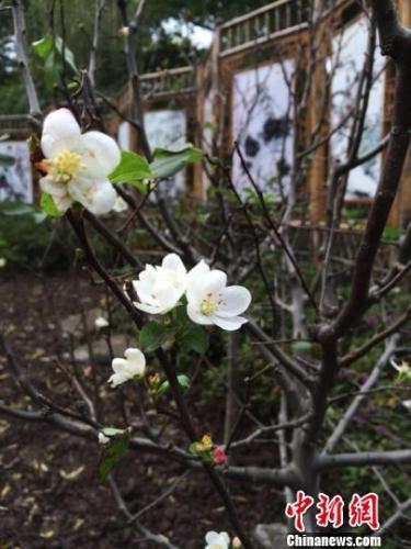冬日绽放的春花,娇俏动人。 孙佳 摄