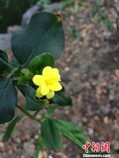 春季开放的黄馨斑驳盛开。 孙佳 摄