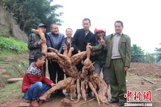 """泸州村民挖出一株野生""""葛王"""" 重达170余斤"""