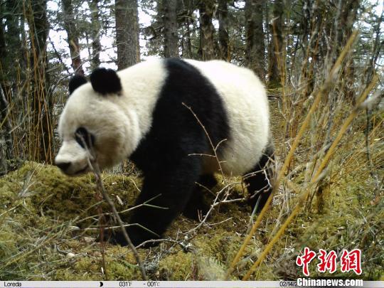 四川黄龙红外相机首次拍摄到野生雌性大熊猫带崽活动影像