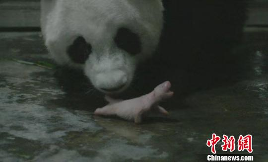 """海归大熊猫""""阿宝""""诞下全球最重龙凤胎"""
