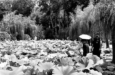 有游客摘荷花拍照 北京日坛公园:已加强巡视管理