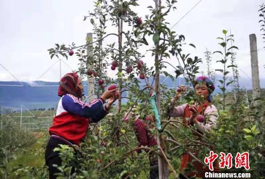 探访四川盐源新一代苹果园:现代农业技术成增收催化剂