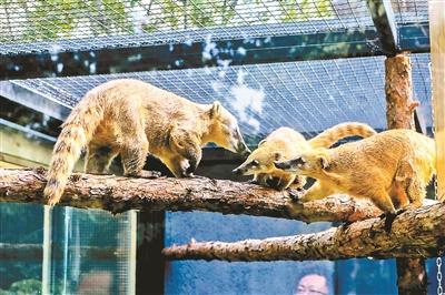 """北京动物园小型食肉动物搬""""新家"""""""