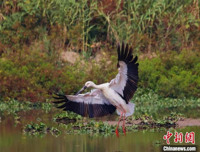 国际濒危保护动物东方白鹳现杭州 全球不足3000只