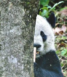 """大熊猫""""贝贝"""":家乡菜和家乡话咋适应?"""