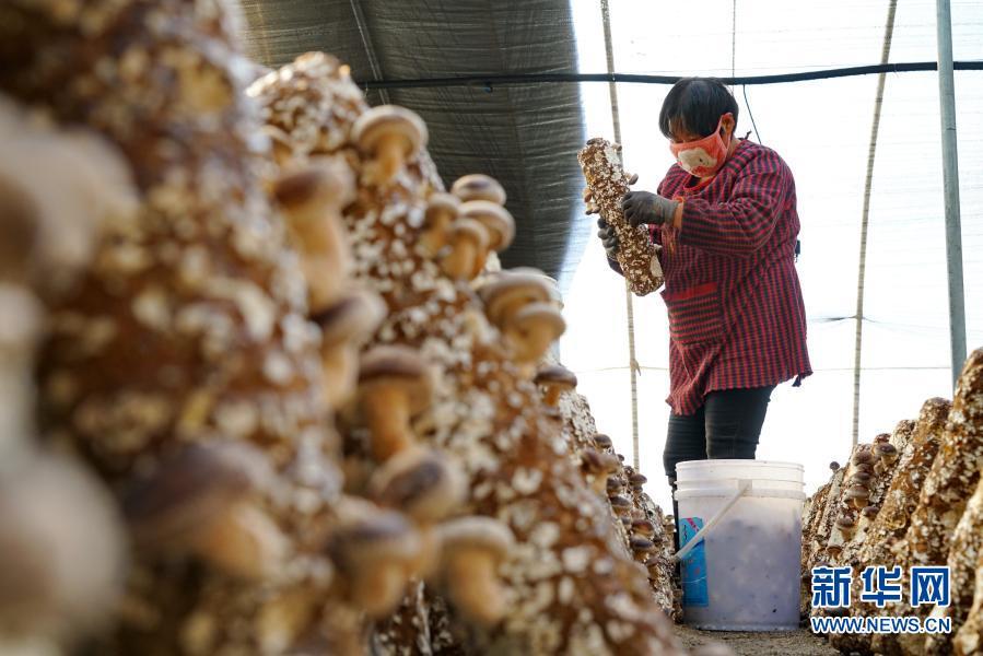 河北滦州:特色种植助农冬闲增收